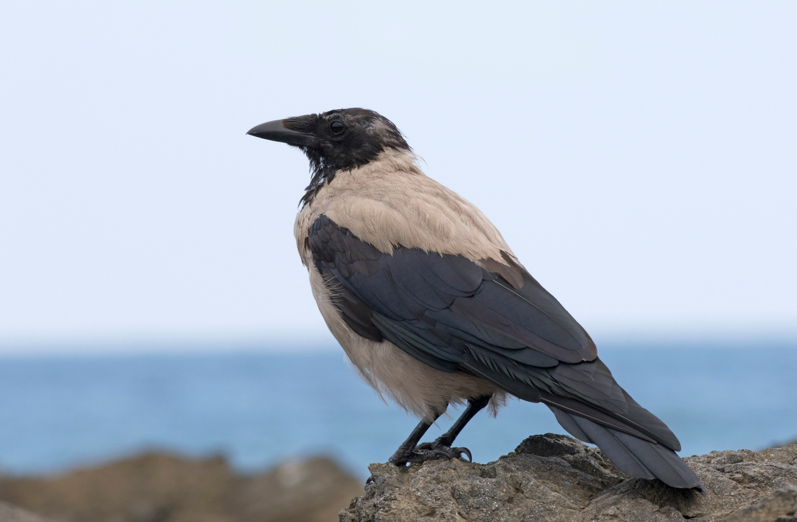 Corvus_cornix_-_Hooded_Crow,_Giresun_01-3